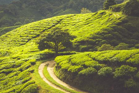 Landscape with tea plantation Cameron highlands, Malaysia photo