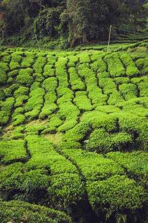 Tea plantation Cameron highlands, Malaysia photo