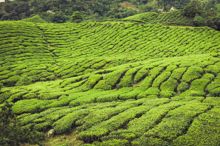 highlands: Tea plantation Cameron highlands, Malaysia Stock Photo