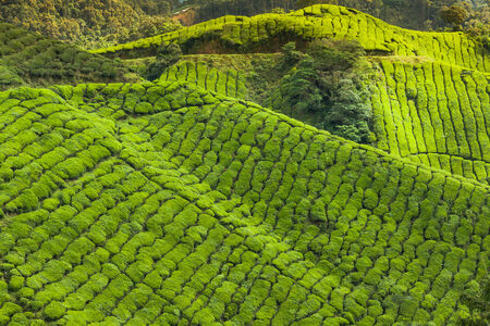 Landscape view of Tea Plantation in Cameron Highland photo