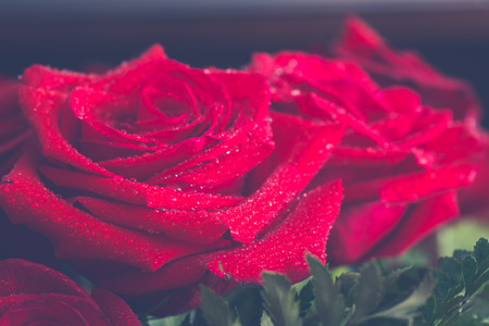 Beautiful red rose macro shot close up. Valentines Day photo