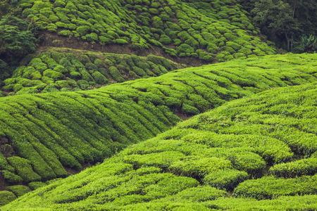 kerala: Tea plantations in Munnar, Kerala, India Stock Photo