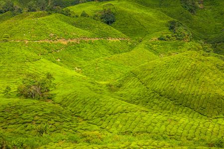kerala: Kerala India travel background - green tea plantations in Munnar, Kerala, India - tourist attraction