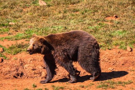 alaskan bear: North American Grizzly Bear at sunrise in Western USA Stock Photo
