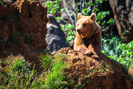 western usa: North American Grizzly Bear at sunrise in Western USA Stock Photo