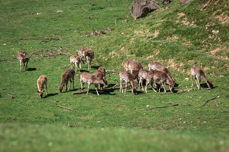 profil: A summertime view of a herd of fallow deers (Dama dama) on the green meadow. These mammals belong to the family Cervidae