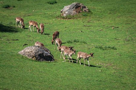 deer spot: A summertime view of a herd of fallow deers (Dama dama) on the green meadow. These mammals belong to the family Cervidae