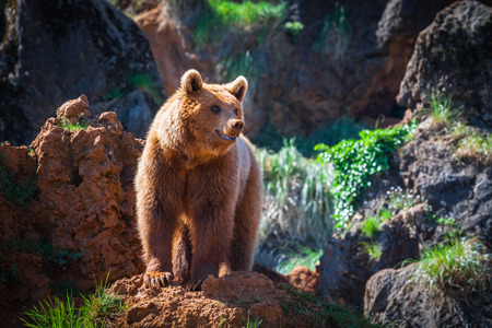 kodiak: North American Grizzly Bear at sunrise in Western USA Stock Photo