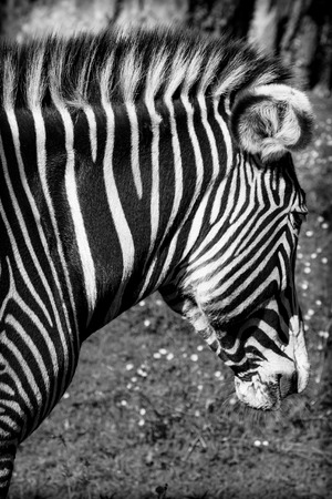 wild donkey: A beautiful African zebra in his natural environment