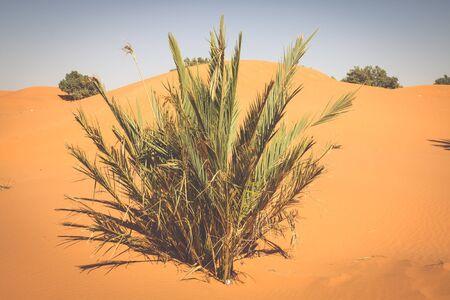 erg: Palm tree in Erg Chebbi, at the western edge of the Sahara Desert Stock Photo