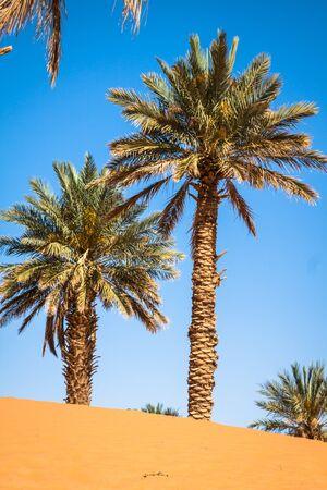 desierto del sahara: Palmera en Erg Chebbi, en el extremo occidental del desierto del Sahara