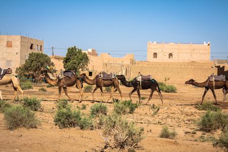Camel caravane sur le désert du Sahara, Merzouga