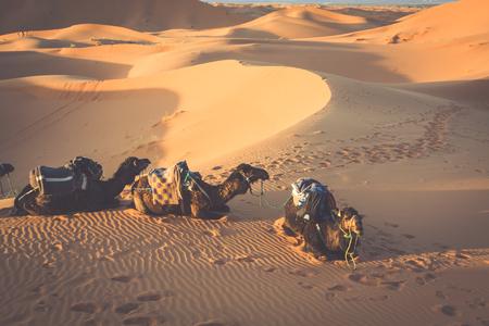 erg: Dunes Erg Chebbi near Merzouga, Morocco -Camels used for tours into the erg