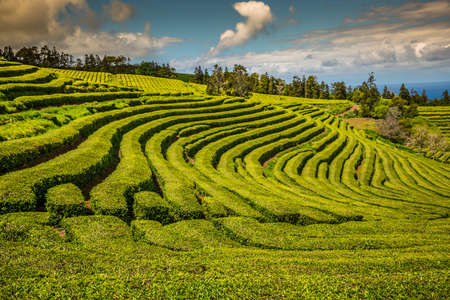 portugal agriculture: Tea plantation in Porto Formoso. Amazing landscape of outstanding natural beauty. Azores, Portugal Europe.