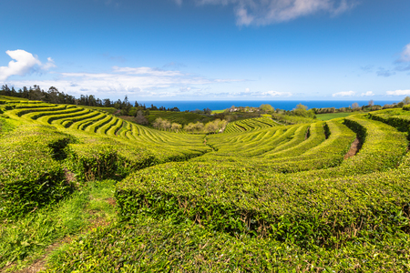 Tea plantation in Porto Formoso. Amazing landscape of outstanding natural beauty. Azores, Portugal Europe.