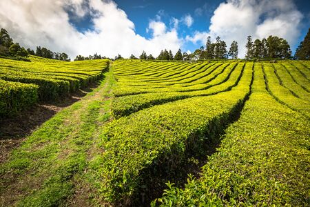 agriculture azores: Tea plantation in Porto Formoso. Amazing landscape of outstanding natural beauty. Azores, Portugal Europe.