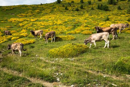 Koeien in de bergen - Pyreneeën, Spanje