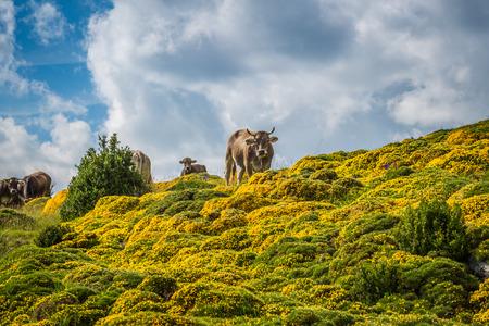 Koeien in de bergen - de Pyreneeën, Spanje