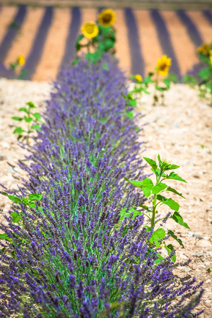 plateau: Lavender field. The plateau of Valensole in Provence