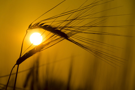Wheat on a great summer sunset background photo