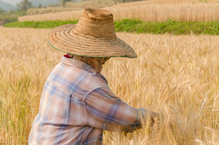 Farmer harvesting wheat in Thailand  photo