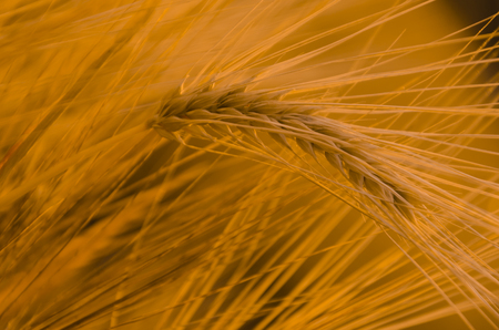 Yellow wheat field background, warn sunset light, soft focus, autumnal nature, bread production, farmland, dry rye stems, harvesting concept photo