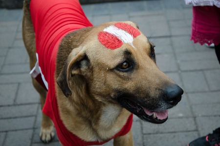 Lima, Peru - OCTOBER 10th 2017: Fanaticism in Peru (Peru vs. Colombia) Russia 2018. Dog dressed and painted with the colors of Peru