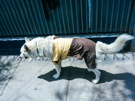 Dog dressed in guardian clothes