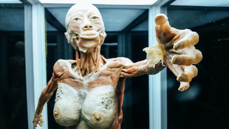 Anatomy model .Part of human body model with organ system 免版税图像