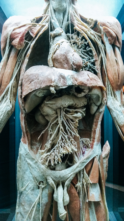 Anatomy model .Part of human body model with organ system 스톡 콘텐츠