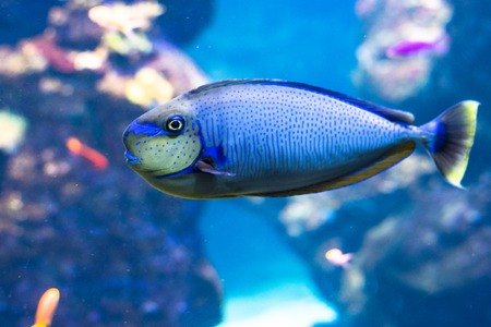 Blue tang fishes and coral reef life. Background and graphic use Stock Photo