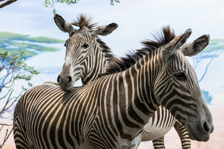 Face of two small and nice zebras. Stock Photo