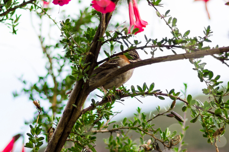 White-throated sparrow, Zonotrichia albicollis, perched on a tree branch Фото со стока