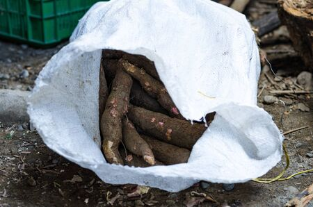 Cassava, also called manioc, yuca, balinghoy, mogo, mandioca, kamoteng kahoy, tapioca and manioc root, a woody shrub of the Euphorbiaceae family native to South America. Photo taken in Peru