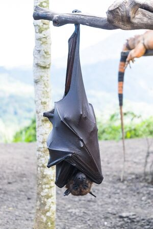 Bat hanging from the tree branch, Indonesia bat - Also known as great flying fox Banco de Imagens