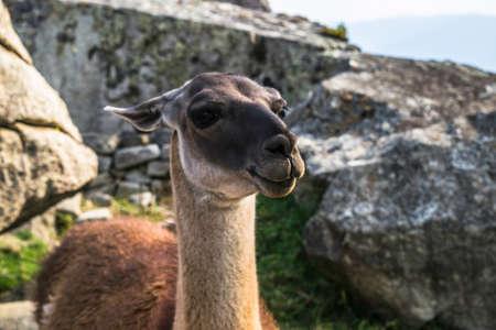 Llama in the ruins lost city Machu-Picchu Standard-Bild