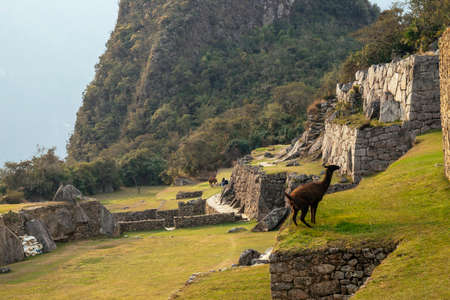 Funny llama urinating in the ruins of the lost city of Machu-Picchu.