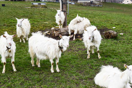 Flock of young goats on a green meadow