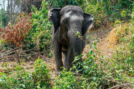 Closeup of the Asian elephant in the country of Thailand