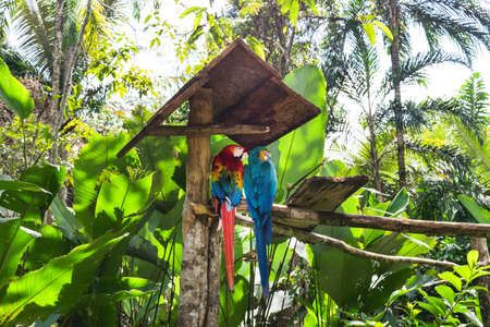 Blue-and-yellow macaw (Ara ararauna) and green-winged macaw (Ara chloropterus) in Amazon Animal Orphanage Pilpintuwasi in village Padre Cocha near Iquitos, Peru.