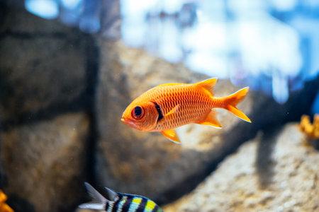 Gold fish swimming in an aquarium Standard-Bild