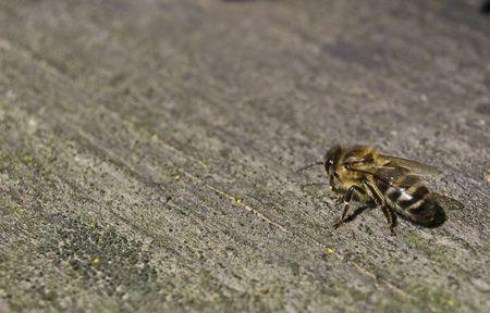 workwoman: A little workwoman is a bee