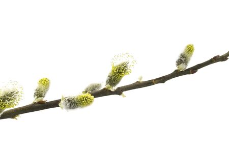 pussy tree: young buds of pussy willow tree are isolated on white