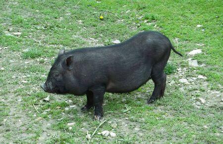 black pig is on a pasture