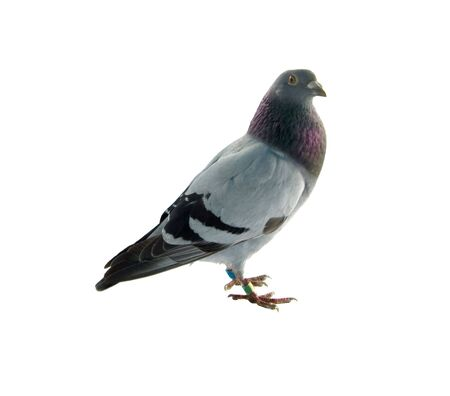 one grey pigeon isolated on white background Stock Photo - 7111816
