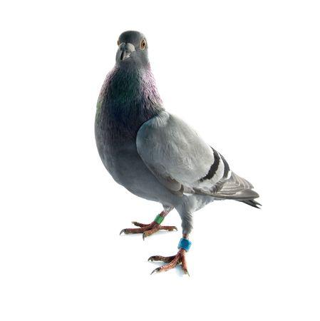 palomas volando: una paloma gris aislada sobre fondo blanco