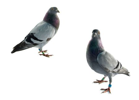 two grey pigeons isolated on white background