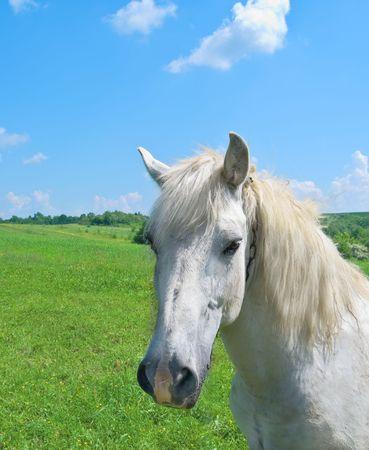 白い馬は、牧草地には