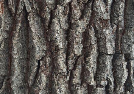 close-up of an oak trees bark  Stock Photo