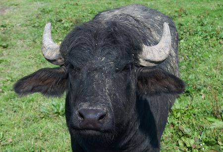 look of black buffalo Stock Photo - 8056043